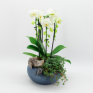orhidee ghiveci
